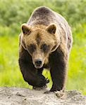 Grizzly bear walking toward the camera Stock Photo - Royalty-Free, Artist: jeffbanke                     , Code: 400-04303670