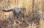 Small Cheetah (Acinonyx jubatus) cub playing in savannah in South Africa   Stock Photo - Royalty-Free, Artist: hedrus                        , Code: 400-04304178