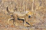 Cheetah (Acinonyx jubatus) cub walking in savannah in South Africa   Stock Photo - Royalty-Free, Artist: hedrus                        , Code: 400-04304180