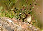 Small brown bird sitting on a rock in nature reserve in South Africa Stock Photo - Royalty-Free, Artist: hedrus                        , Code: 400-04304197
