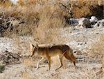 Coyotes in Death Valley Stock Photo - Royalty-Free, Artist: jeffbanke                     , Code: 400-04320454