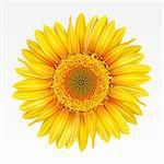Yellow sunflower on the  white background. Mesh. Stock Photo - Royalty-Free, Artist: Lep                           , Code: 400-04321082