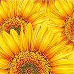 Background with yellow sunflowers. Mesh. Clipping Mask Stock Photo - Royalty-Free, Artist: Lep                           , Code: 400-04321085