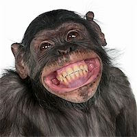 smiling chimpanzee - Close-up of Mixed-Breed monkey between Chimpanzee and Bonobo smiling, 8 years old Stock Photo - Royalty-Freenull, Code: 400-04327517