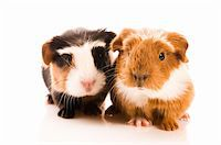 baby guinea pigs Stock Photo - Royalty-Freenull, Code: 400-04337419