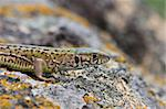 gray lizard (lacerta agilis) on a rock mountain Stock Photo - Royalty-Free, Artist: porojnicu                     , Code: 400-04339205