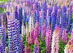 A field of lupin wildflowers in New Zealand Stock Photo - Royalty-Free, Artist: alexeys                       , Code: 400-04340408