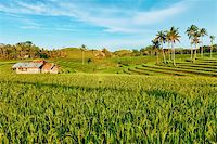 philippine terrace farming - Paddy rice field at day time. Bohol. Philippines Stock Photo - Royalty-Freenull, Code: 400-04346456
