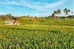 Paddy rice field at day time. Bohol. Philippines Stock Photo - Royalty-Free, Artist: GoodOlga                      , Code: 400-04346456