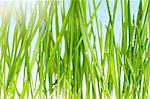 Fresh green wheat grass in field against blue sky with sun Stock Photo - Royalty-Free, Artist: fotostok_pdv                  , Code: 400-04349535