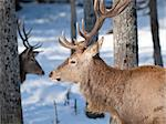 Male Red Deer in winter Stock Photo - Royalty-Free, Artist: ericlefrancais                , Code: 400-04352322