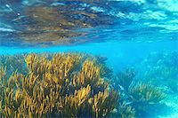 Mayan Riviera soft gorgonian reef seascape Mexico Stock Photo - Royalty-Freenull, Code: 400-04352815