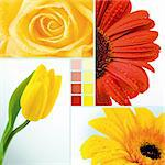 Collage of yellow tulip, rose and two herberas Stock Photo - Royalty-Free, Artist: pressmaster                   , Code: 400-04353536