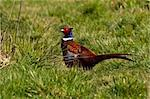 Pheasant walks around in grassland, in spring Stock Photo - Royalty-Free, Artist: Stu49                         , Code: 400-04355409
