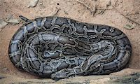snake skin - sleeping asian python close-up photo Stock Photo - Royalty-Freenull, Code: 400-04355551