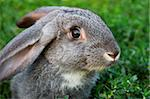 Image of cautious rabbit in green grass outdoor Stock Photo - Royalty-Free, Artist: pressmaster                   , Code: 400-04363009