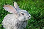 Image of cautious rabbit in green grass outdoor Stock Photo - Royalty-Free, Artist: pressmaster                   , Code: 400-04363012