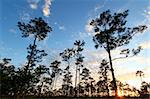 A beautiful sunset over a forest in the Everglades National Park of Florida. Stock Photo - Royalty-Free, Artist: Wirepec                       , Code: 400-04365398