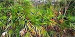 Palmetto covers the forest floor in the Everglades National Park in Florida. Stock Photo - Royalty-Free, Artist: Wirepec                       , Code: 400-04365399