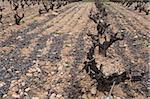Rows of Vines on The Field in Spain in Early Spring