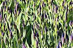 closeup of unopened blue iris flowerbed with sunshine Stock Photo - Royalty-Free, Artist: mrVitkin                      , Code: 400-04380718