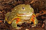 African Bullfrog or Pixie Frog (Pyxicephalus adsperus). Stock Photo - Royalty-Free, Artist: ASB                           , Code: 400-04381622