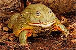 African Bullfrog or Pixie Frog (Pyxicephalus adsperus). Stock Photo - Royalty-Free, Artist: ASB                           , Code: 400-04381625