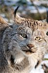 9-month kitten of Canadian lynx. Stock Photo - Royalty-Free, Artist: murysia                       , Code: 400-04385158