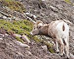 Bighorn sheep ram in Banff national park in Canada Stock Photo - Royalty-Free, Artist: jeanro                        , Code: 400-04385249