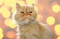 close-up portrait of a red Persian breed cat Stock Photo - Royalty-Freenull, Code: 400-04387732