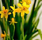 Fresh Spring Narcissus / Daffodil on White Background Stock Photo - Royalty-Free, Artist: jamdesign                     , Code: 400-04393203