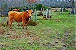 Cow and Bull Grazing on Alpine Meadows in The Pyrenees
