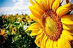 sunflower on blue sky background in summer day Stock Photo - Royalty-Free, Artist: tarczas                       , Code: 400-04393479