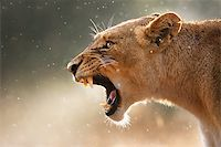 roar lion head picture - Lioness displays dangerous teeth during light rainstorm  - Kruger National Park - South Africa Stock Photo - Royalty-Freenull, Code: 400-04398219