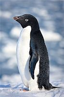black and white penguin on the white snow Stock Photo - Royalty-Freenull, Code: 400-04399407