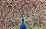 peacock with open tail Stock Photo - Royalty-Free, Artist: lenta                         , Code: 400-04401099