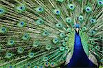 head peacock as very nice animal background Stock Photo - Royalty-Free, Artist: jonnysek                      , Code: 400-04402696