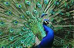 head peacock as very nice animal background Stock Photo - Royalty-Free, Artist: jonnysek                      , Code: 400-04402697