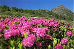 Rhododendron during spring/summer Stock Photo - Royalty-Free, Artist: Ssnowball                     , Code: 400-04411470