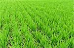 Detail of a green rice field in Japan