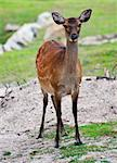 One of the famous sacred sika deers in Nara, Japan Stock Photo - Royalty-Free, Artist: Fyletto                       , Code: 400-04416319