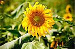 sunflower on wild field closeup Stock Photo - Royalty-Free, Artist: tarczas                       , Code: 400-04419015