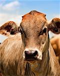 Australian beef cattle young yearling cow portrait against blue sky Stock Photo - Royalty-Free, Artist: sherjaca                      , Code: 400-04419567