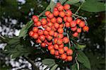 Fruits of the Rowan European (Sorbus aucuparia) Stock Photo - Royalty-Free, Artist: tdietrich                     , Code: 400-04420307