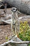 stunning meerkat looking alert Stock Photo - Royalty-Free, Artist: lizapixels                    , Code: 400-04421456