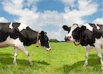 two frisian cows in a dutch meadow Stock Photo - Royalty-Free, Artist: hansenn                       , Code: 400-04422025