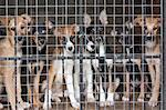 Many cute puppies locked in the cage Stock Photo - Royalty-Free, Artist: usersam2007                   , Code: 400-04423170