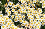 chamomile fieald as very nice floral background Stock Photo - Royalty-Free, Artist: jonnysek                      , Code: 400-04423551