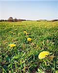 Dandelions in Field, Cotswolds, Gloucestershire, England