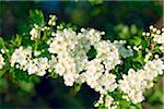 Common Hawthorn Blossom, Cotswolds, Gloucestershire, England Stock Photo - Premium Royalty-Free, Artist: Tim Hurst, Code: 600-04424915